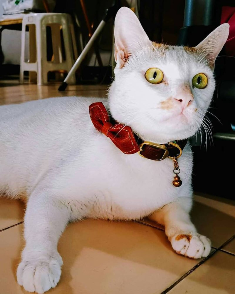Leather Collar(drk br)M size for medium size cat or small dog (neck 22-27 cms)